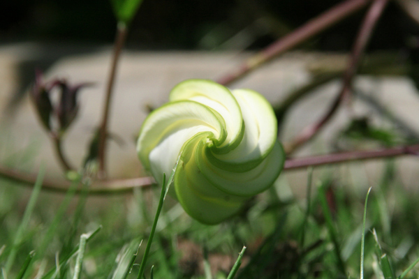 Moonflower Bud