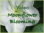 Moonflower Blooming