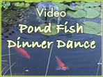 Video: Pond Fish Dinner